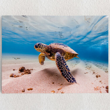 Personalisiertes Leinwandbild Schildkröte im Meer
